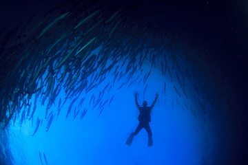 Barracuda fish and scuba diver underwater
