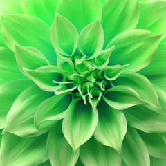 Close up of flower dahlia for background, Abstract petals flower dahlia