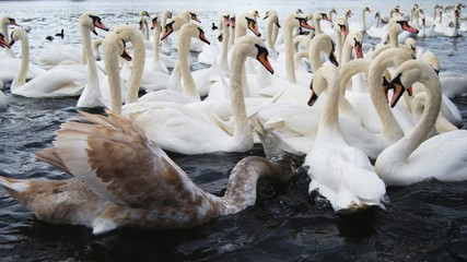 Swans floating at the river