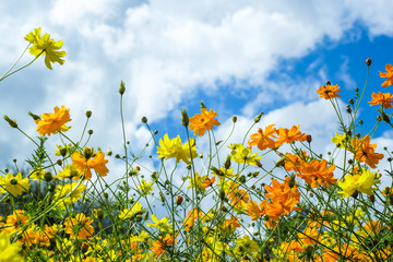 Beautiful Blossom yellow colorful daisies, cosmos  in grass field flowers in a beautiful day