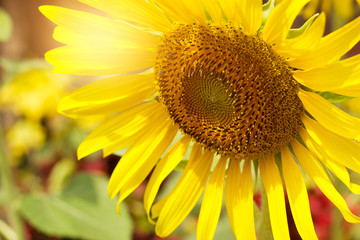 Sunflower and bee in the sunlight on grass background