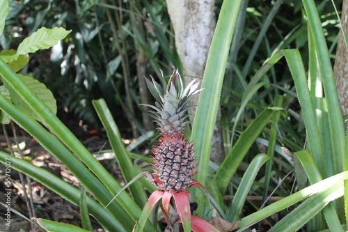 Pianta di ananas nella jungla immagini e fotografie - Pianta ananas ...