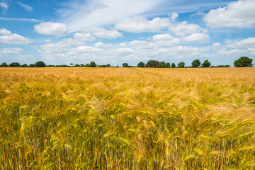Landwirtschaft - Kornfeld