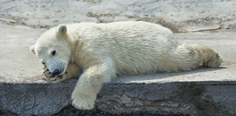 A polar bear cub is resting. The cute and cuddly animal baby, which is going to be the most dangerous and biggest beast of the world. Careless childhood of a live plush teddy.