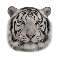 Stare of a white bengal tiger in snowflakes. The head of the most dangerous and beautiful beast of the world. Rounded mask of the biggest cat on white background.