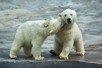 Sibling kiss on the neck of a polar bear baby.