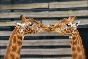Girafes, baiser