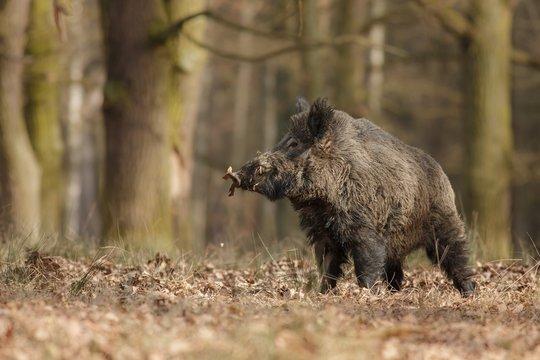 Wild boar/wild boar