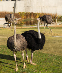 The ostriches of zoological parc in Paris.
