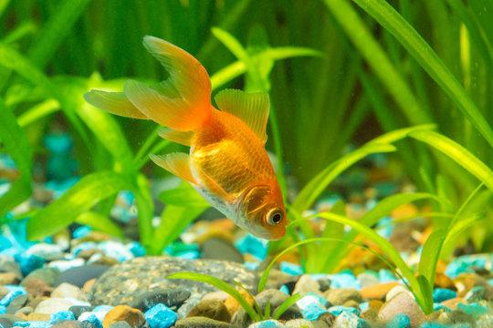 Goldfish in the ground looking for food in aquarium