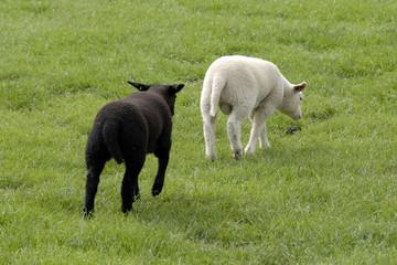 Foto auf Gartenposter Schaf Het zwarte lam loopt achter het witte lam aan in de wei