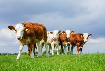 Fototapete - Rindfleischerzeugung - juges Fleckvieh auf der Weide