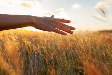 Hand in wheat field.