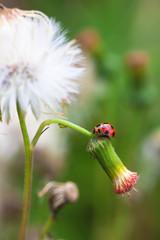 Ladybug with flowers