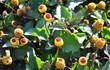 Parakresse (Acmella oleracea)