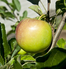 fresh and juicy apple