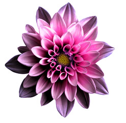 Poster Dahlia Surreal dark chrome pink flower dahlia macro isolated on white