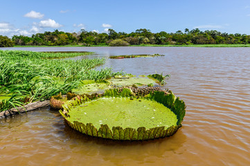 Water lily in the Amazon Rainforest, Brazil