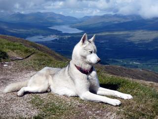 Husky/Malamute - Fort William, Scotland