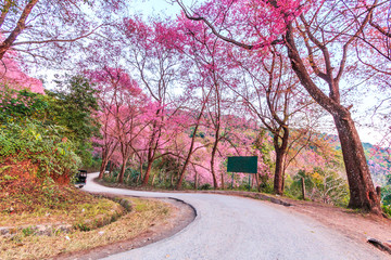Cherry Blossom or Sakura beside the road in Chiangmai province of Thailand