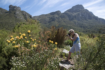 Tourist photographing Protea plants on Table Mountain Cape Town South Africa