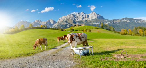 Kühe vor Wilder Kaiser Wall mural