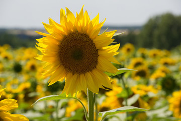 Sunflowers in Hungary