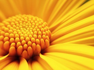 macro shot of maxican sunflower