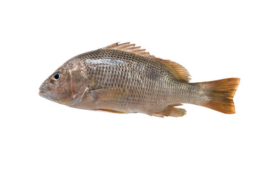 fresh Red snapper on white background + clipping paths