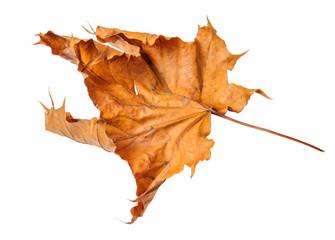 Dry maple leaf on white background