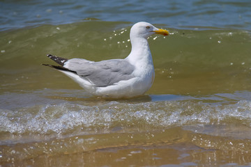 Seagull in a water of North sea in Zandvoort, the Netherlands