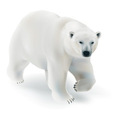 Polar bear - Ursus maritimus.