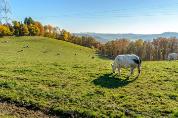 sLandscape with Belgian cows in the ardennes