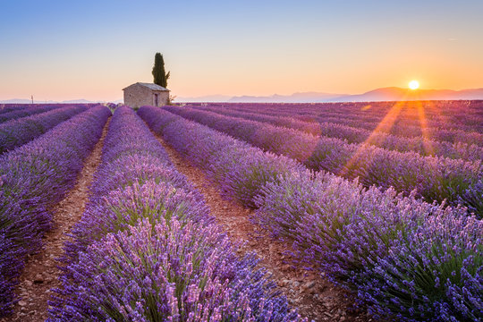 Provence, France, Valensole Plateau. Sunrise over the beautiful lavender field in bloom.