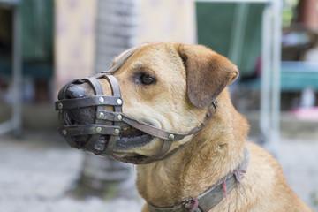 Dog wear muzzle. (Selective Focus at the dog eye)