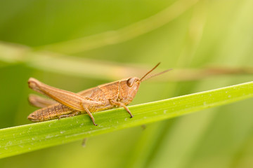 grasshopper in nature. close