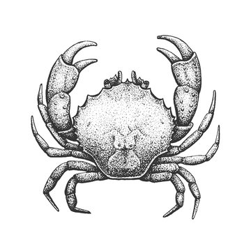 Crab Engraving Illustration