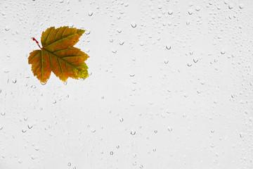 Kolorowy jesienny liść klonu i krople deszczu na oknie. Kolorowy podświetlony mokry jesienny liść przyklejony kroplami wody do okna na szarym tle.
