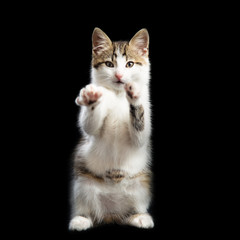 Trained kitten stands on two paws lifting the second paws up