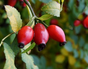 red fruits of wild rose