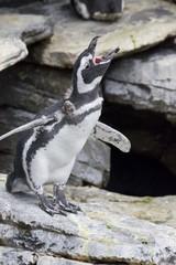 Penguin shouting in Lisbon Oceanario, Portugal