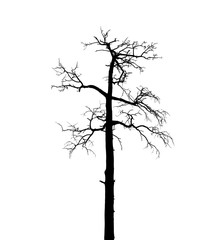 Dry dead European pine tree isolated on white