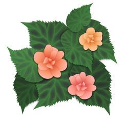 Begonia pink flower. Vector illustration