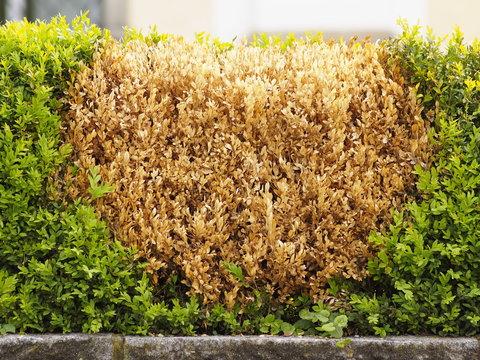 Abgestorbene braune Pflanzen inmitten einer Gartenhecke