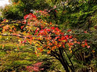 fall foliage liquidambar
