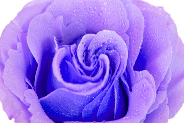 purple rose isolated