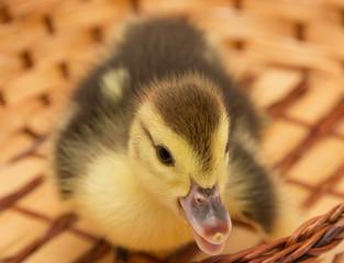 little duckling in a basket