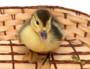 Duckling on a wooden background