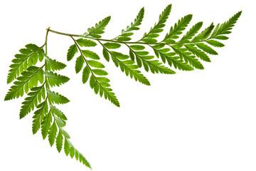 green fern leaf isolated