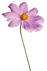 pink cosmos daisy isolated on white